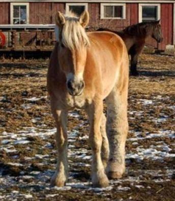horse with swollen leg